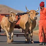 Ox Cart Transport 2. Two happy looking Oxen draw a small cart along the roads of Lesotho Royalty Free Stock Image