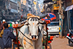 Ox cart transportation on early. Morning in Old Delhi, India Stock Image