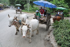 Ox cart trekking in thailand Stock Photography