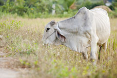 Ox eating grass Royalty Free Stock Photo