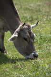 Ox in a a erd of cows on a meadow Stock Photography