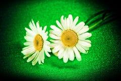 Ox-eye λουλουδιών μαργαρίτα στο υπόβαθρο Στοκ Φωτογραφία