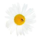 Ox-eye λουλούδι μαργαριτών στενό επάνω μυγών που απομονώνεται με Στοκ εικόνα με δικαίωμα ελεύθερης χρήσης