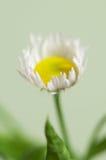 Ox-eye λουλούδι μαργαριτών Στοκ φωτογραφίες με δικαίωμα ελεύθερης χρήσης