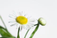 Ox-eye λουλούδι μαργαριτών Στοκ Εικόνες
