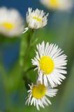 Ox-eye λουλούδι μαργαριτών Στοκ Φωτογραφία