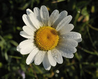 Ox Eye Daisies Royalty Free Stock Photography