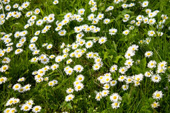 Ox-eye Daisies Royalty Free Stock Images
