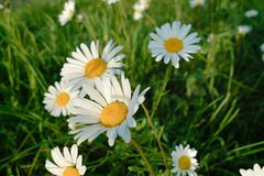 Ox-eye daisies. Royalty Free Stock Images