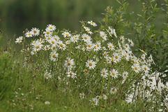 Ox Eye Daisies Royalty Free Stock Image