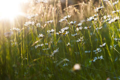 Ox eye daisies on a summer meadow Royalty Free Stock Image