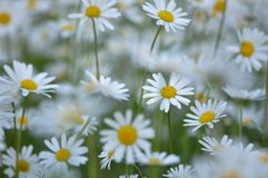 Ox-eye daisies in summer stock image