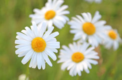 Ox eye daisies in a wild flower meadow Royalty Free Stock Photo