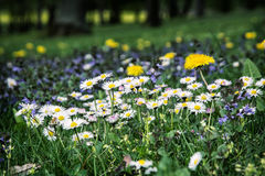 Ox-eye daisies and yellow dandelions in the meadow Stock Images