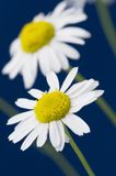 Ox-eye daisy. Flowers on blue background stock image