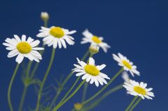 Ox-eye daisy. Flowers on blue background stock photography