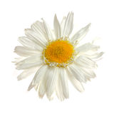 Ox-eye daisy Royalty Free Stock Photography