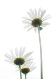 Ox-eye daisy royalty free stock images