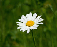 Ox-eye Daisy. White and yellow Ox-eye Daisy during summer with out-of-focus green background stock images