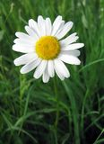 Ox-eye daisy. In green fiels stock photo