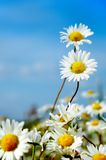Ox-eye daisy. In the field stock photography