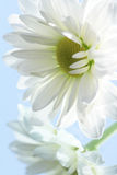 Ox-eye daisy. Close-up of nice white ox-eye daisy on blue background stock images
