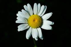 Ox-eye Daisy. Close up of a Ox-eye Daisy flower Stock Photos