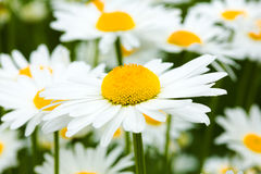 Ox-Eye Daisy. Close up of spring flower on meadow royalty free stock photography