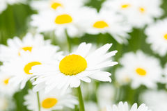 Ox-Eye Daisy. Close up of spring flower on meadow royalty free stock photos