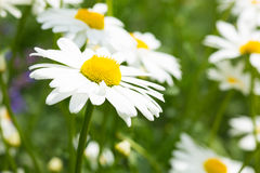 Ox-Eye Daisy. Close up of spring flower on meadow royalty free stock image
