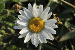 Ox Eye Daisy Royalty Free Stock Images