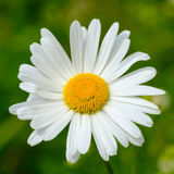 Ox-eye daisy detail. On green background royalty free stock image