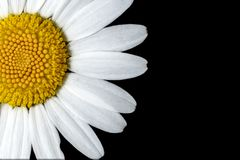 Ox-eye Daisy Flower. Close up on black background royalty free stock images