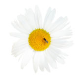 Ox-eye daisy flower with fly close up isolated Royalty Free Stock Image