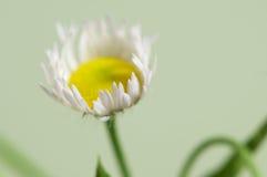 Ox-eye daisy flower Stock Photos