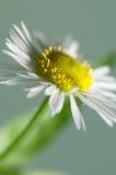 Ox-eye daisy flower Stock Image