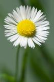 Ox-eye daisy flower Stock Images