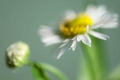 Ox-eye daisy flower Stock Photo