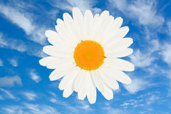 Ox eye daisy flower head. Against a bright blue summer sky a great floral summer symbol royalty free stock photos