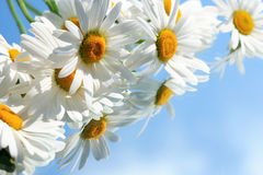 Ox-Eye Daisy Flowers. Extreme closeup of ox-eye daisy flowers on blue background with reverberation stock photography