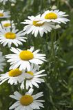 Ox-eye daisy flowers. On grass background stock photography