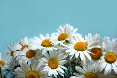 Ox-eye-daisy flowers. Bunch of ox-eye-daisy flowers on blue background royalty free stock photos