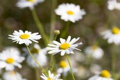 Ox-eye Daisy Flowers Stock Image
