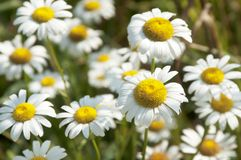 Ox-eye daisy. Flowers in a grass stock photo