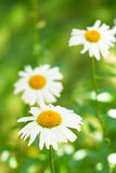 Ox-eye daisy flowers on green meadow Stock Photos