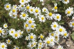 Ox-eye daisy flowers Stock Photography