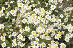 Ox-eye daisy flowers. In a meadow, closeup stock photos