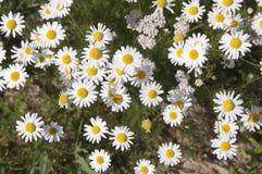 Ox-eye daisy flowers Stock Photos