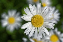 Ox-eye daisy. Flowers in the middle of June stock images