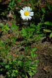 Ox-eye Daisy. Growing up out of the ground Royalty Free Stock Photo